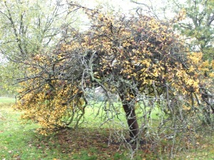 arbre hyde park