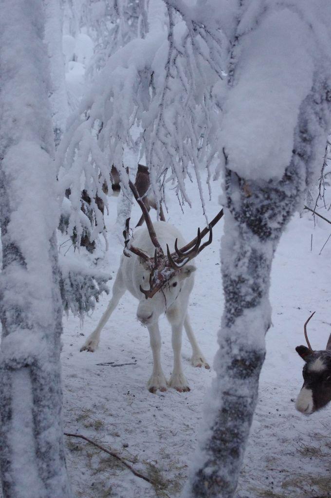 Un Renne en Laponie