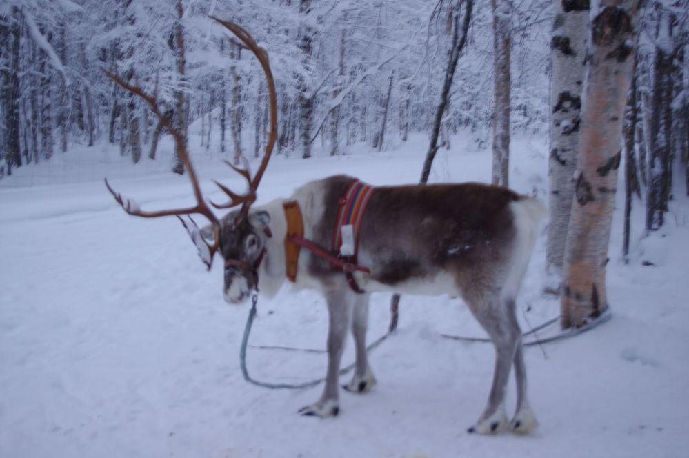 Renne en Laponie